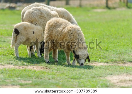 flock of sheep and lamb on spring green grass