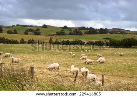 Flock of sheep and meadow in New Zealand. - stock photo