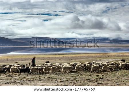 Flock of sheep at Tibet, China - stock photo