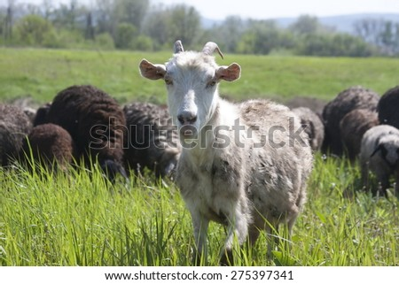 Flock of sheep. Black and white sheep, and the sheep grazing in the meadow. Sheep grazing. sheep's head.  - stock photo