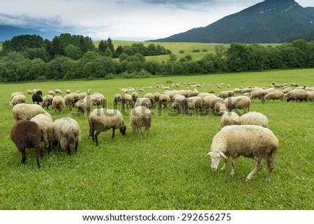 flock of sheep breeding in the green grass mountain meadow - stock photo