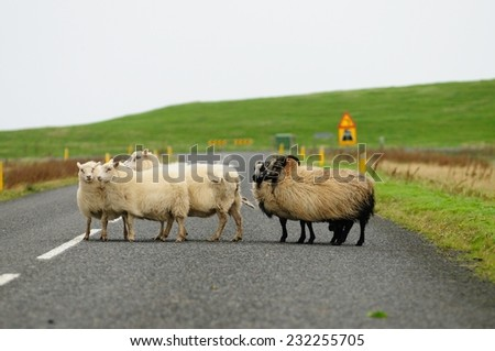 Flock of sheep cross the road in Iceland  - stock photo