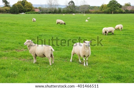 Flock of Sheep Graze in a Green Field - stock photo