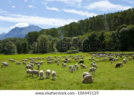 Flock of sheep grazing - stock photo
