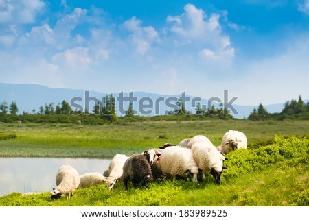 flock of sheep grazing on a green hilly meadow  - stock photo