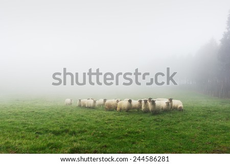 flock of sheep grazing on foggy day - stock photo