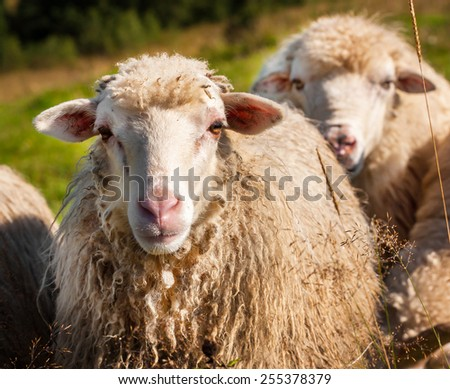 Flock of sheep grazing on the hills of the mountains - stock photo
