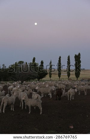 Flock of sheep in paddock at dusk with moon risen - stock photo