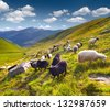 Flock of sheep  in the Carpathian mountains. Ukraine, Europe - stock photo