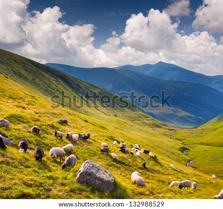 Flock of sheep  in the Carpathians mountains. Ukraine, Europe. - stock photo