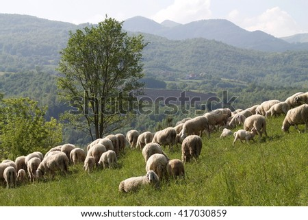 flock of sheep in the gentle morning light - stock photo