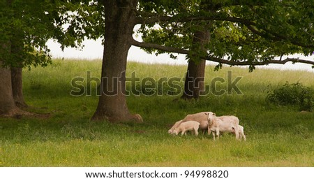 Flock of sheep in the meadow around trees - stock photo