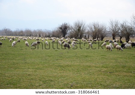 Flock of sheep in the pasture. Alazani Valley, Georgia