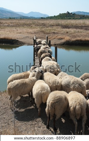 flock of sheep is crossing a wooden bridge - stock photo