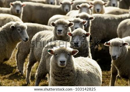 Flock of sheep, New Zealand. - stock photo