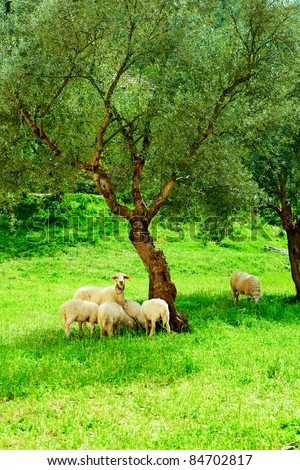 flock of sheep on green grass next to olive tree in eco village Kirazli, Turkey - stock photo