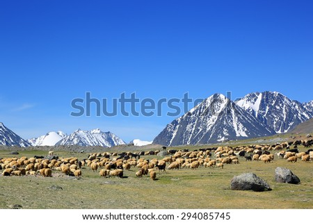 flock of sheep on mountain pasture on snow peaks background  - stock photo