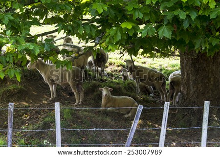 Flock of sheep resting under a tree - stock photo