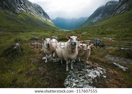 "Flock of sheep. Scandinavia, ""Troll's valley"" - stock photo"