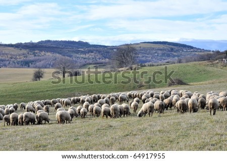 Flock of sheep standing in a field waiting - stock photo