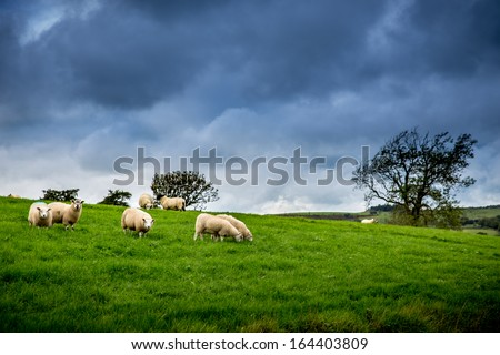 Flock of Sheep Under The Weather - stock photo