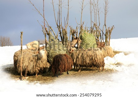 Flock of sheeps Skudde eating hay from the net after snowstorm.  Winter on the farm. - stock photo