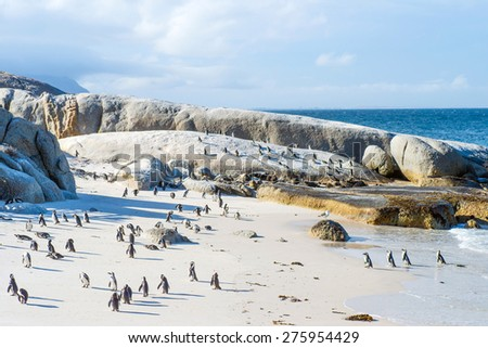 Flock of small African penguins at Boulder Beach just outside Cape Town, South Africa - stock photo
