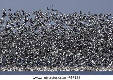 Flock of snow geese - stock photo