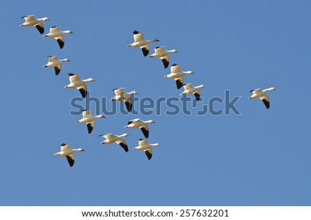 Flock of Snow Geese Flying in a Blue Sky - stock photo