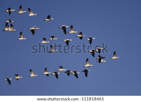 Flock of snow goose flying