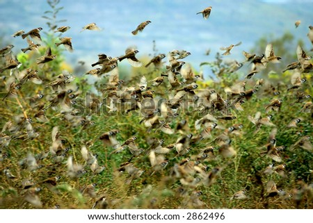 Flock of Sparrows takeoff - stock photo