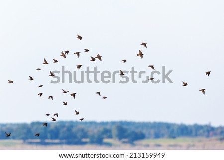 Flock of starlings flying in the sky - stock photo