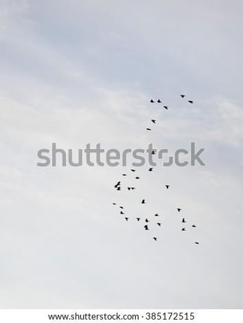 Flock of starlings flying in the sky
