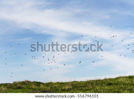 flock of starlings in flight over the meadow