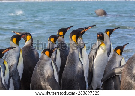 Flock of tall king penguins in South Georgia near Antarctica - stock photo