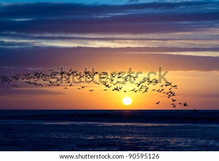 Flock of terns frame the sunset in Florida