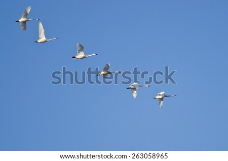 Flock of Trumpeter Swans Flying in a Blue Sky - stock photo