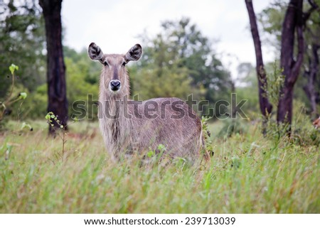Flock of Waterbuck antelopes. South Africa, Kruger National Park. - stock photo