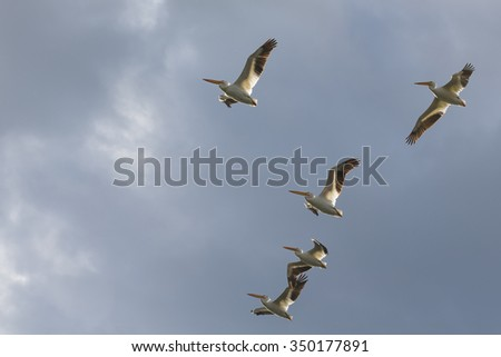 Flock of  White Pelicans flying in a V formation - stock photo