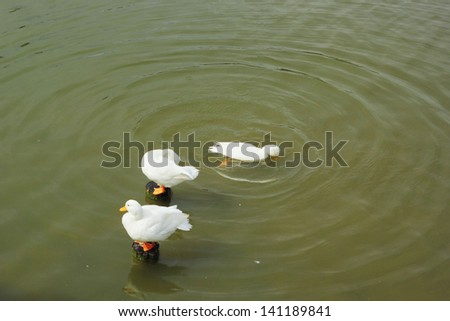 Flock of white swan swimming. - stock photo