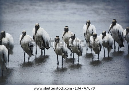 Flock of Wood Storks in rainy morning, standing like sentinels. Latin name - Mycteria americana. Focus on two central birds in the middle! - stock photo