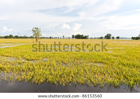 flood at rice field Thailand - stock photo