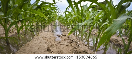 Flood waters rise in a cornfield. - stock photo
