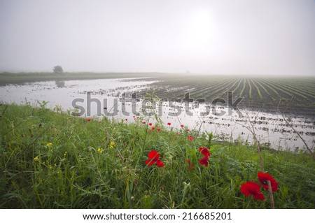 Flooded agricultural land and red poppies - stock photo