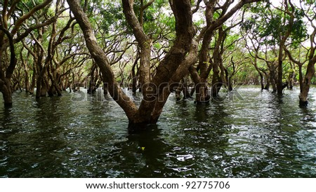 Flooded forest of mangrove trees at Kompeng Phhluk, near Siem Reap, Cambodia - stock photo