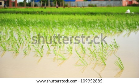 Flooded rice field in a rural village in Cambodia - stock photo