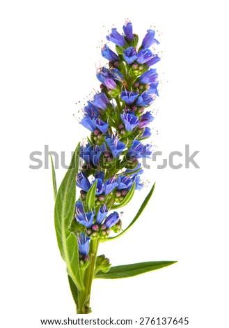 Flora of Gran Canaria - Echium callithyrsum, Blue bugloss of Gran Canaria, inflorescence isolated on white - stock photo