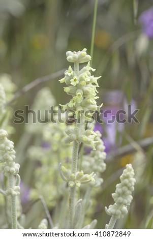 Flora of Gran Canaria - Sideritis dasygnaphala, mountain tea endemic to the island - stock photo