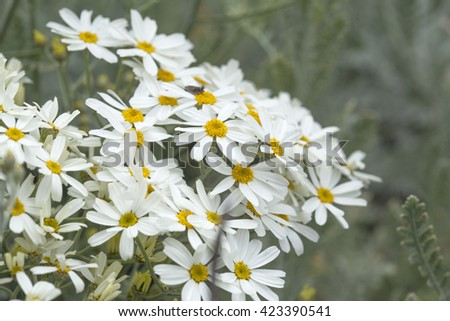 Flora of Gran Canaria - Tanacetum ptarmiciflorum, silver leaf plant, endemic to the islands and endangered, blooming starts