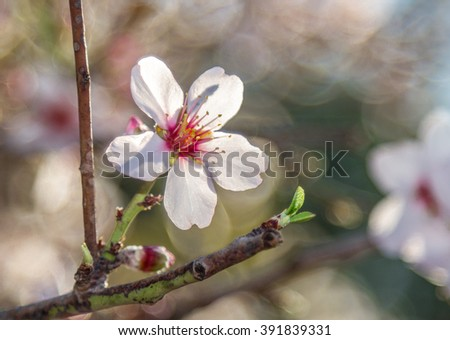 Flora of Israel, blooming almond tree in spring, flower on the branch. Selected focus - stock photo